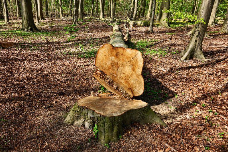pień ściętego drzewa w lesie