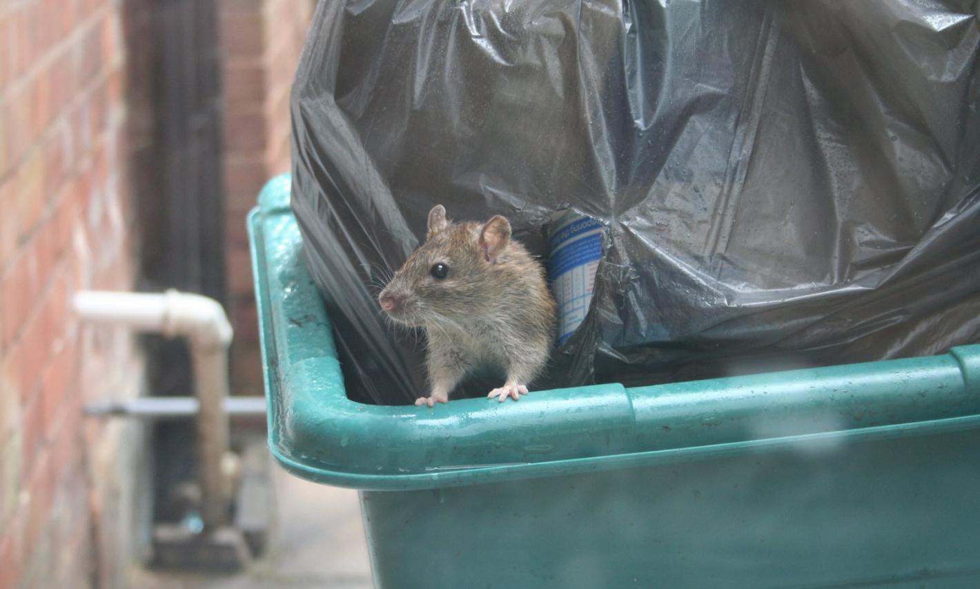 Szczur wychodzący ze śmietnika