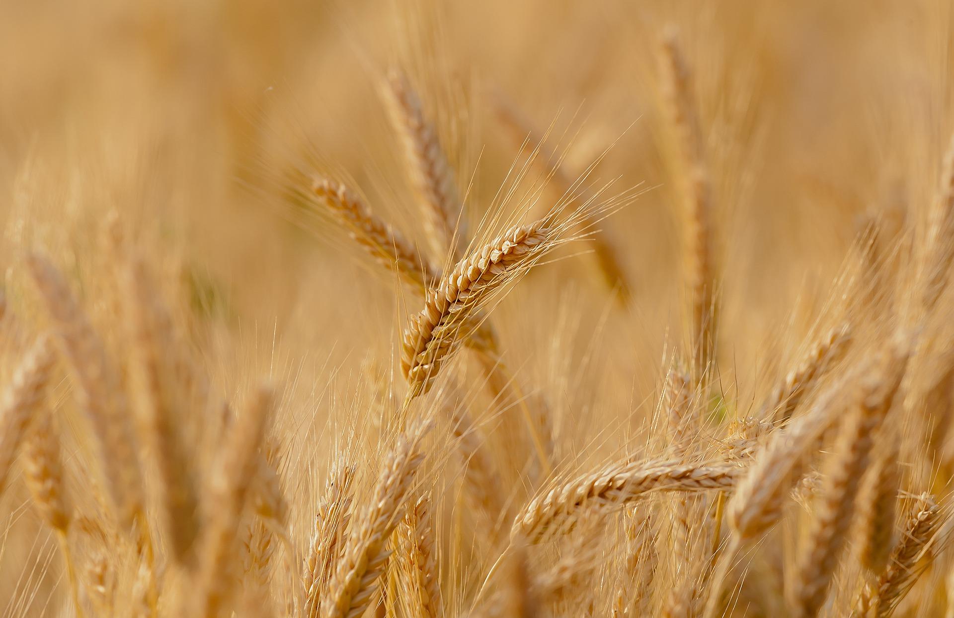 na zdjęciu łany pszenicy