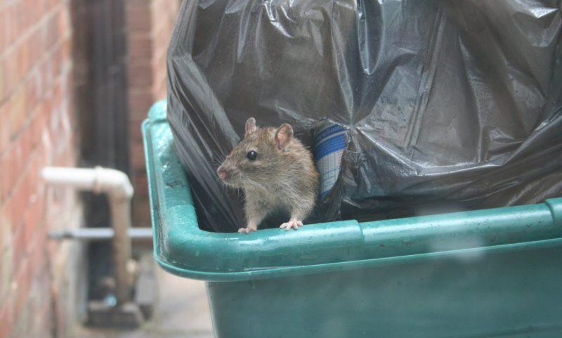 Szczur - akcja deratyzacji